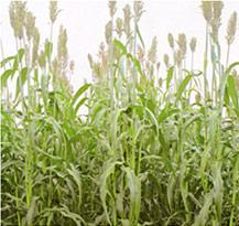 緑肥・牧草