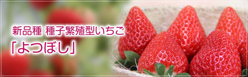 新品種 種子系いちご「よつぼし」